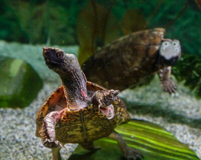 Adult male Four-Eyed Turtles swimming