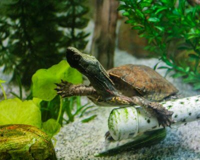 Adult male Four-Eyed Turtle swimming