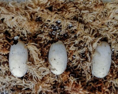 Four-Eyed Turtle eggs beginning to hatch