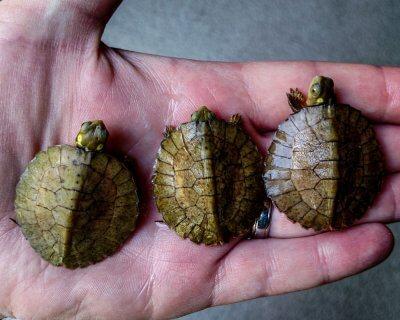 Hatchling Four-Eyed Turtles