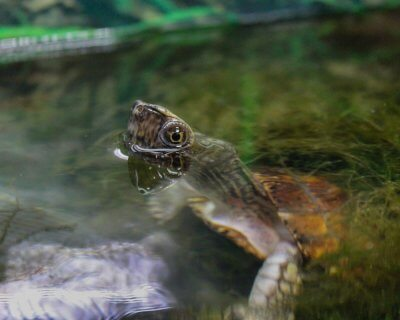 Adult male Four-Eyed Turtle up for air