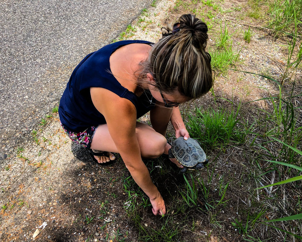 A nest of Diamondback Terrapin eggs being excavated, with mother in hand