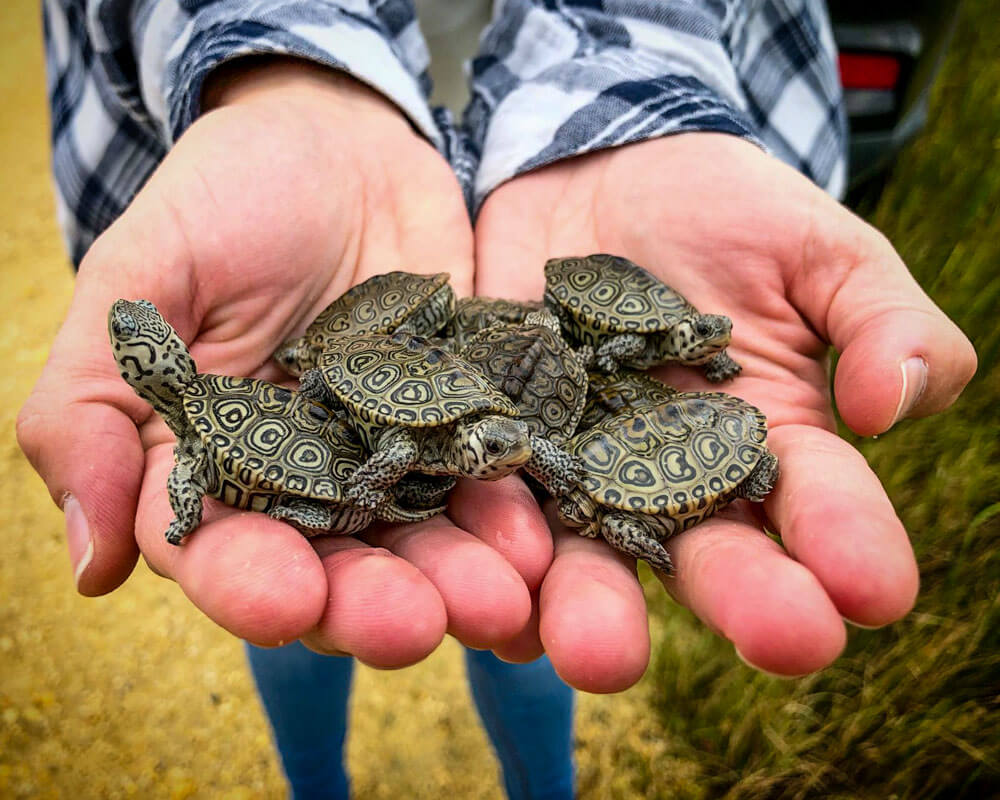A handful of hatchling Diamondback Terrapins