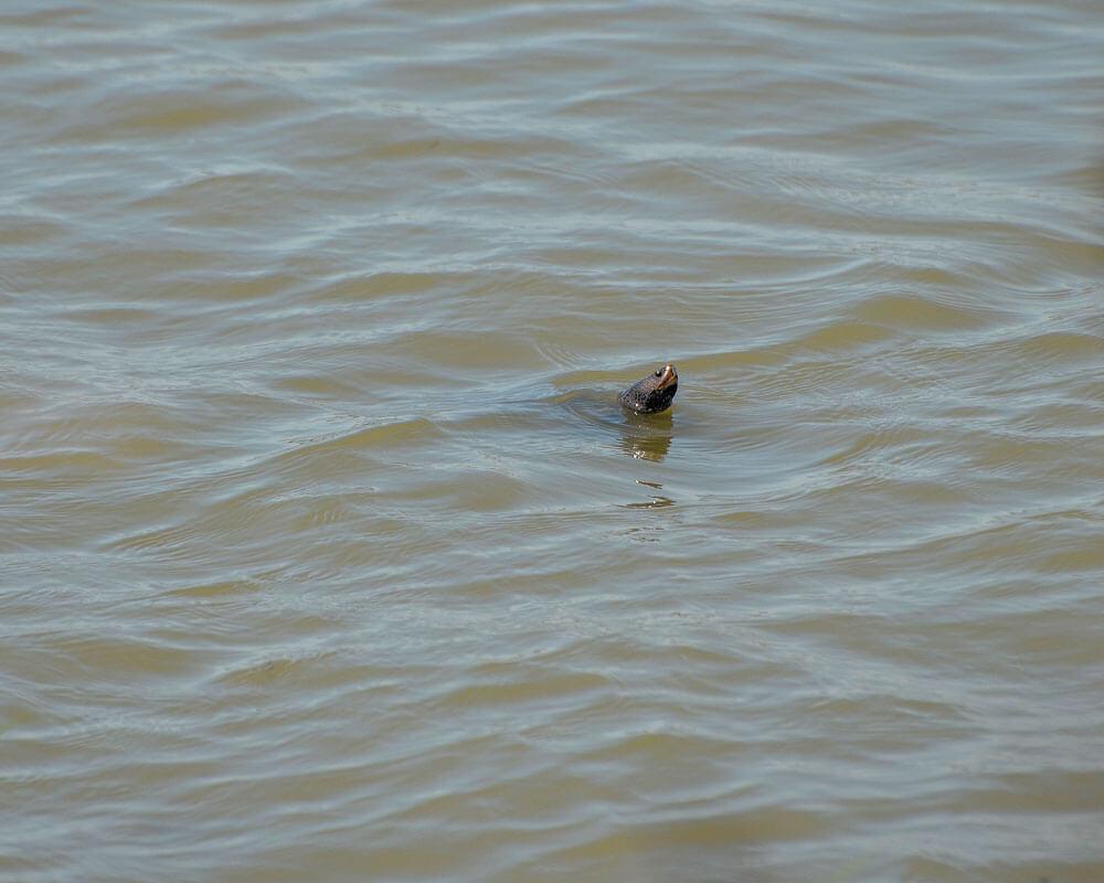 A Diamondback Terrapin swimming