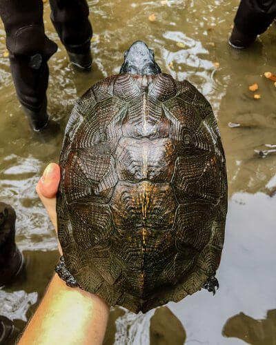 Carapace of an adult male wood turtle