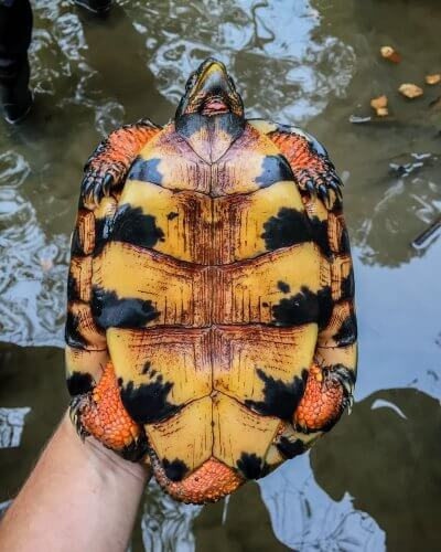 Plastron of an adult male wood turtles