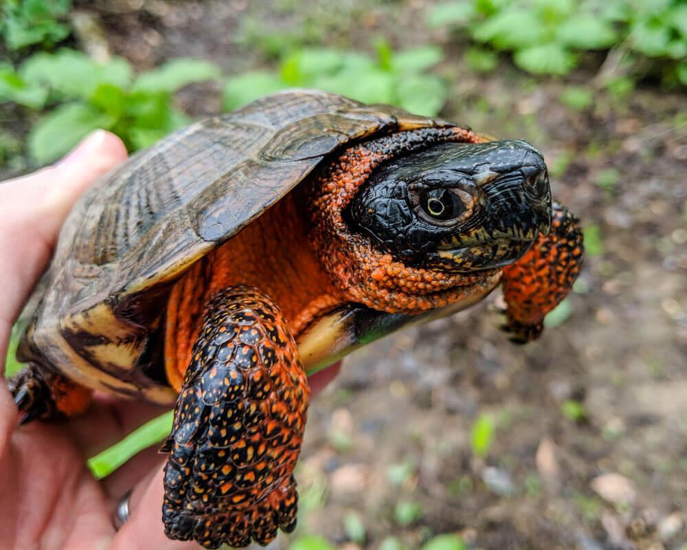 Adult wood turtle