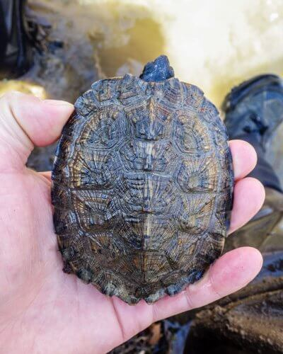 Carapace of a juvenile wood turtle