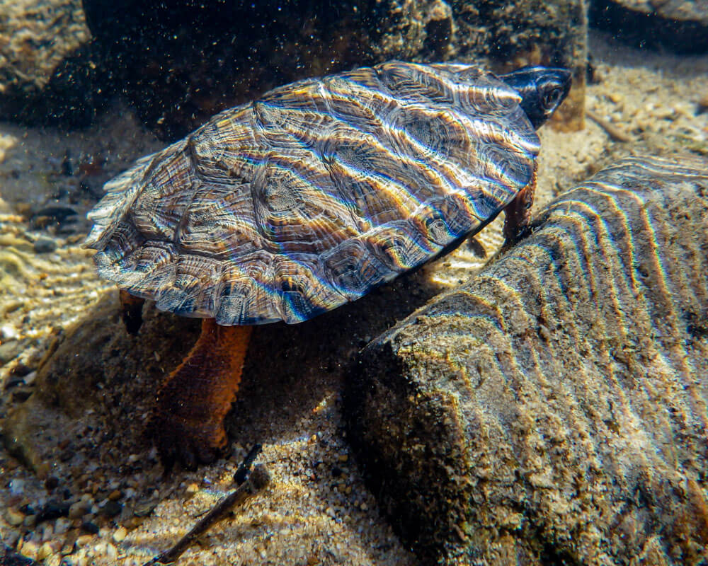 A juvenile wood turtle underwater