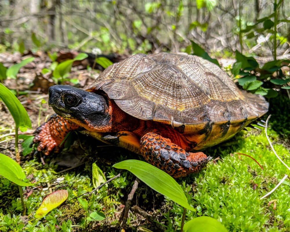 An adult male wood turtle