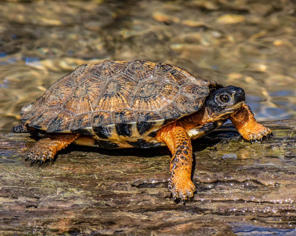 A juvenile male wood turtle