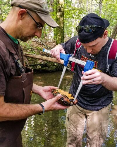 Taking biometric data of an adult wood turtle