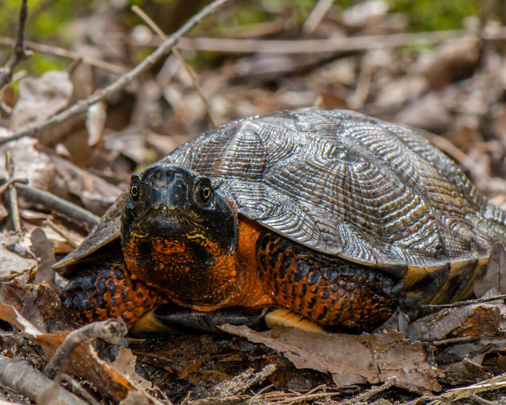 An adult wood turtle