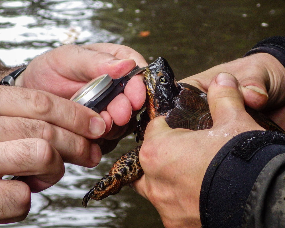 Taking head measurements of an adult wood turtle