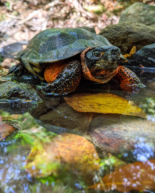 An adult Wood Turtle posing for a photo