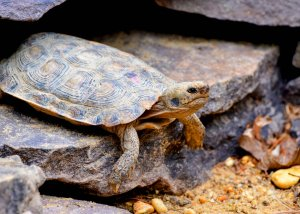 Adult Pancake Tortoise at theTurtleRoom